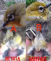Burung Pleci Jantan dan Betina Menurut Pen