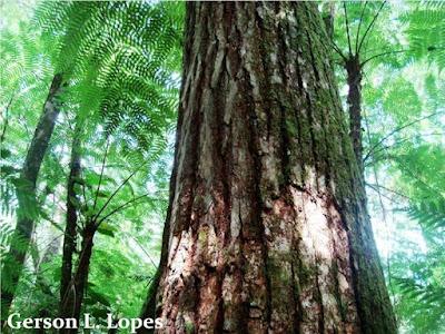 Cedrela fissilis tronco