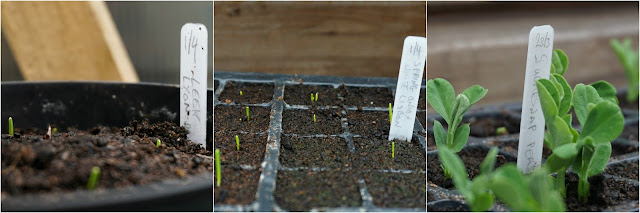 A few seedlings -Carrie Gault - https://growourown.blogspot.co.uk/