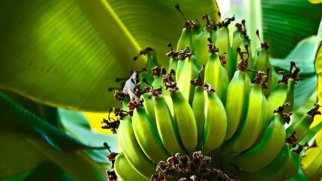gambar buah pohon pisang