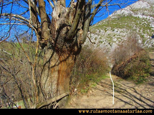 Ruta Requexón Valdunes, la Senda: Cruce con el árbol, nos vamos a la izquierda.