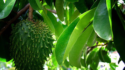 Amazing Health Benefit Of Soursop Fruit Dan Leaves