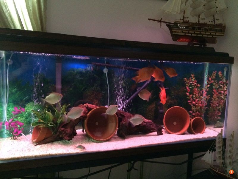 Gambar Harga Ikan Parrot, Asal Usul Dan Cara Merawatnya Di Aquarium