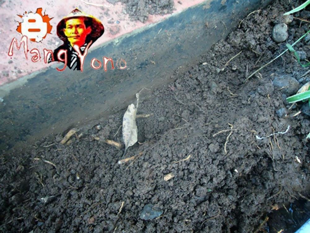 Gb. 1. Gali tanah dengan kedalaman 5 – 10 Cm dengan galian memanjang