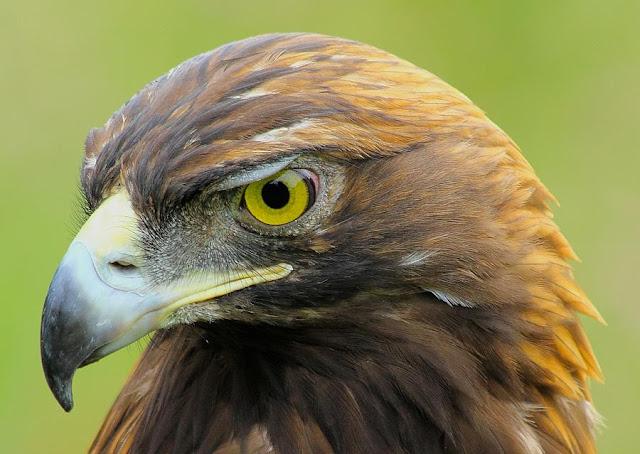 Resultado de imagem para falcão-ave