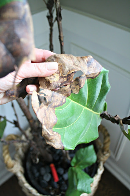 brown leaves on fiddle leaf