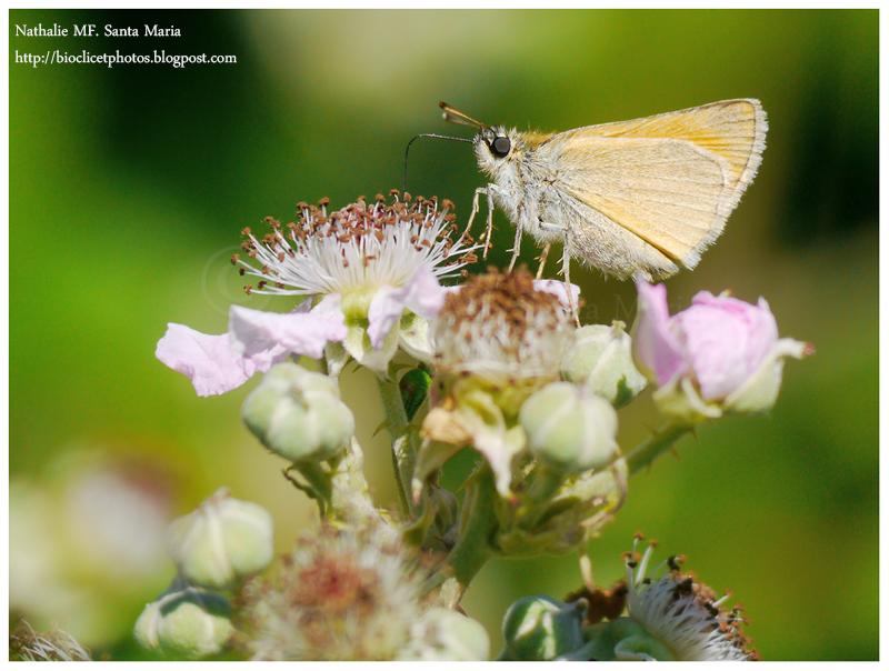http://bioclicetphotos.blogspot.fr/search/label/Bande%20noire%20-%20Thymelicus%20sylvestris