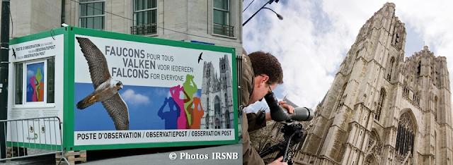 """Faucons Pèlerins à Bruxelles - Naissance de fauconneaux à la Cathédrale Saints Michel & Gudule - Poste d'observation de l""""Institut Royal des Sciences Naturelles de Belgique (IRSNB) - Bruxelles-Bruxellons"""