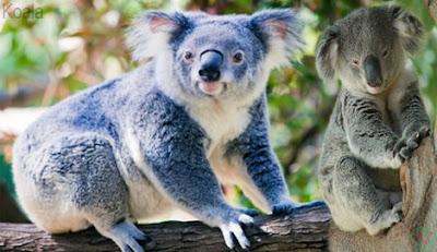 koala, koala animal