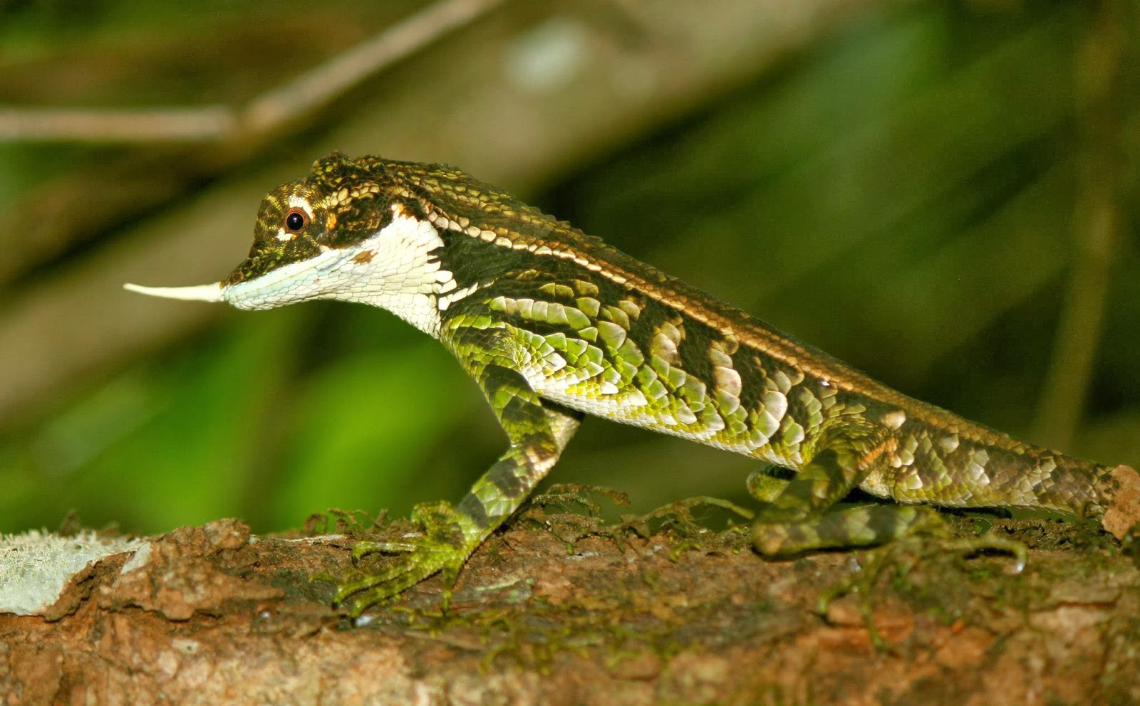 Ceratophora stoddartii