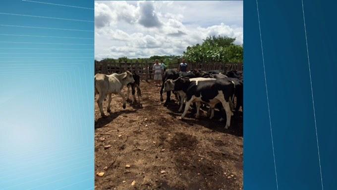 Homem é preso no Ceará suspeito de roubar 62 cabeças de boi