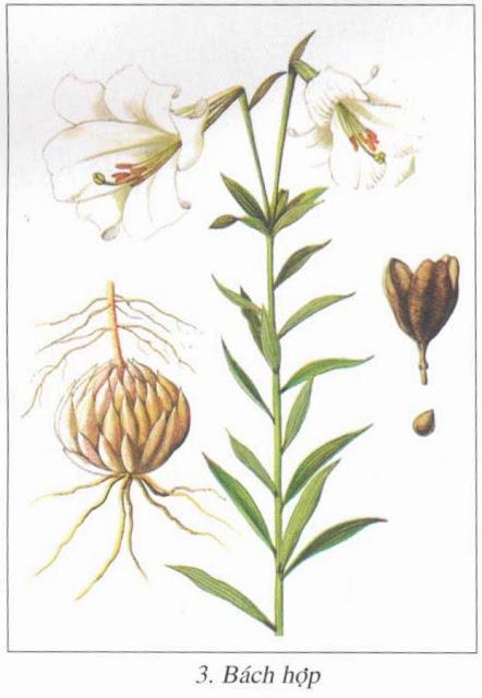 BÁCH HỢP - Lilium broyvnii - Nguyên liệu làm thuốc Chữa Ho Hen