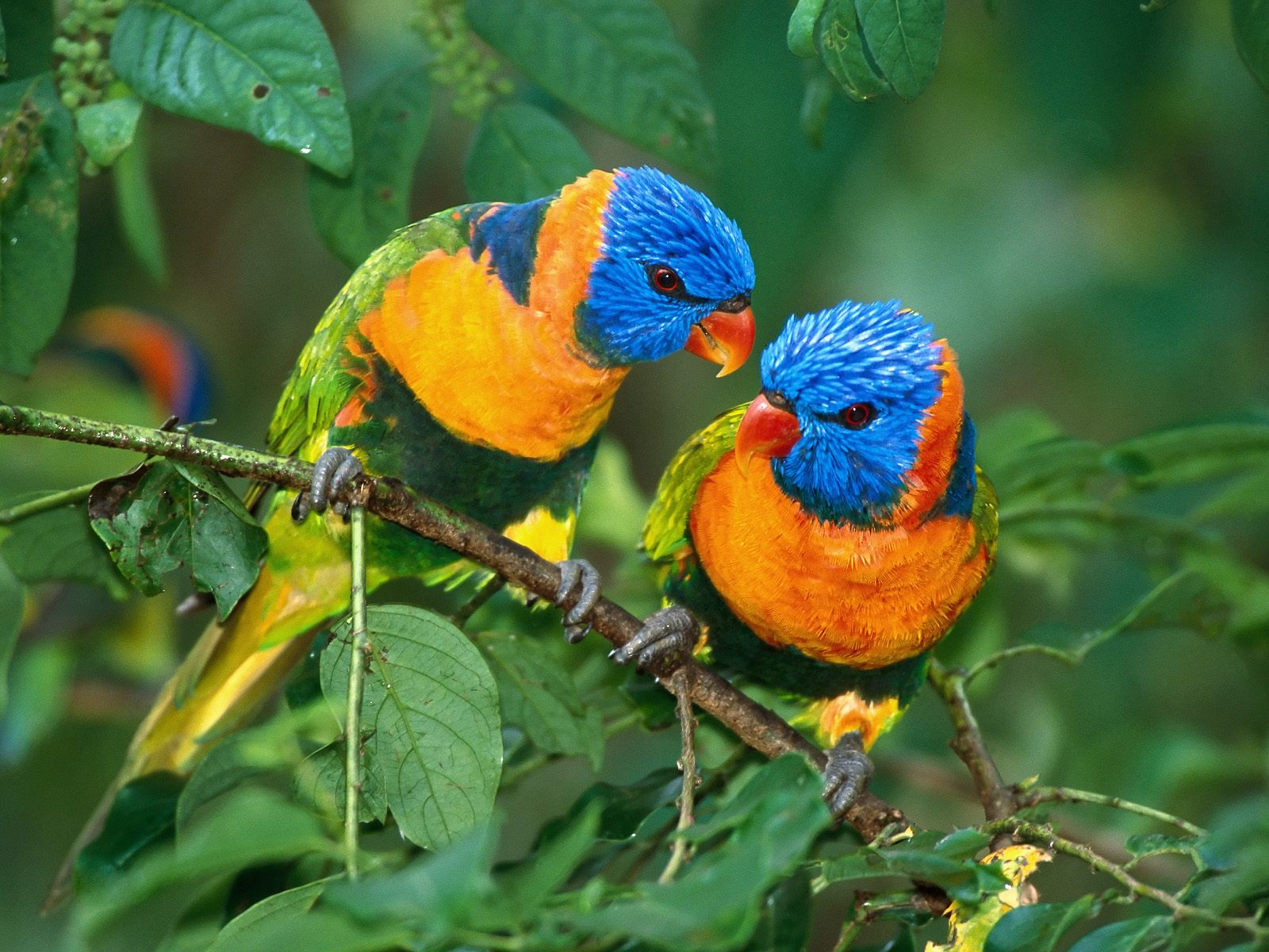 bird birds wallpapers nature background pretty tweety parrot parrots colorful backgrounds brids birdie desktop lovebirds cute pair lovebird parakeets colourful