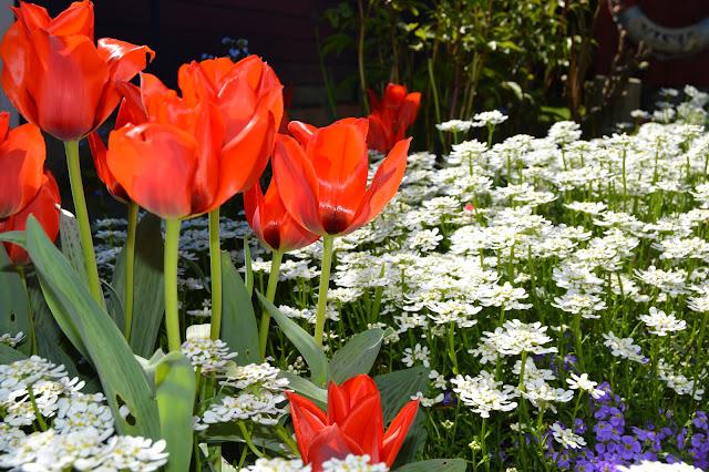 En solrik dag i Cornelias Verden - Røde tulipaner sammen med hvit bunndekker, vakkert.