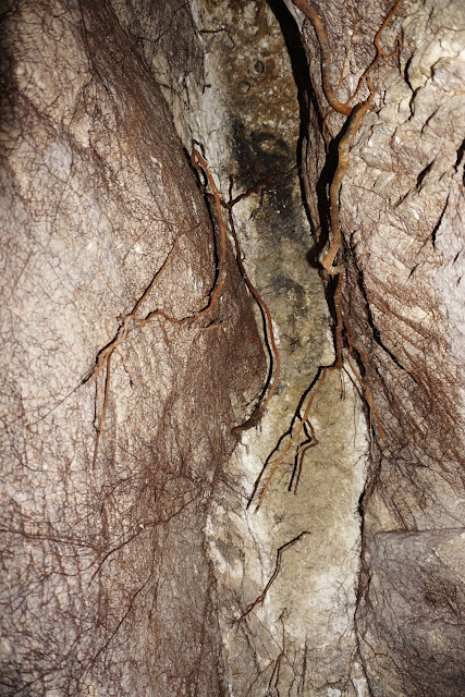 שורשי עץ בתוך ניקבת מי קדם