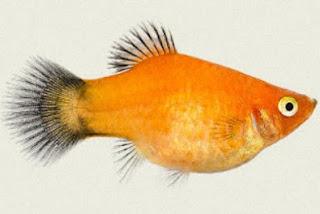 Gambar Ikan Platy Gold Wagtail