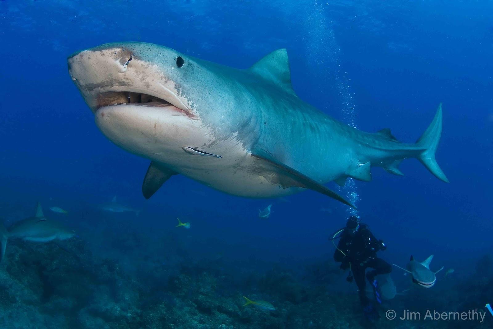 gambar ikan hiu  XTRA TWO