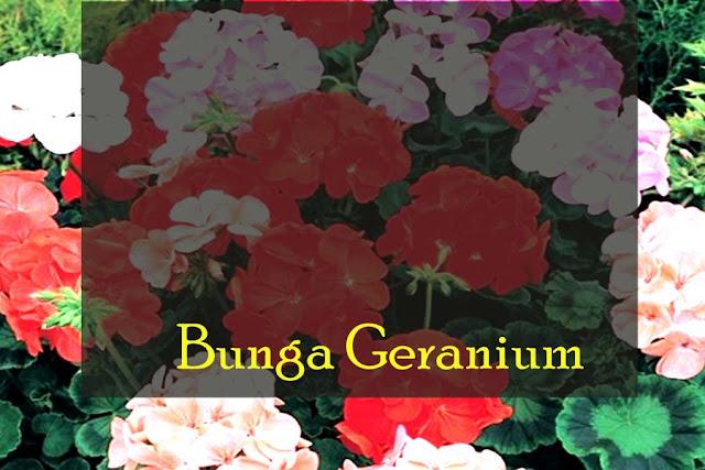bunga-geranium-solusi-menyegarkan-ruangan