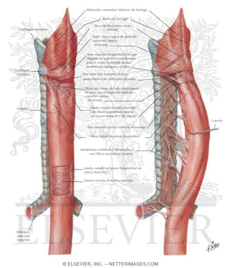 Anatomía del Esófago ~ MEDICINA CLÍNICA Y QUIRÚRGICA