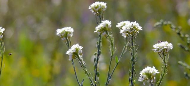 Aliso velloso y plantas cruciferas