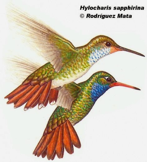 Rufous throated hummingbird