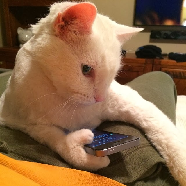 Funny cats - part 88 (40 pics + 10 gifs), cat with extra toes holding a phone