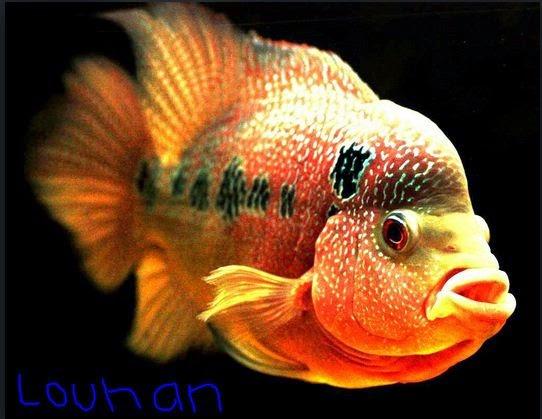 meskipun jenis yang berkembang di pasar Indonesia alasannya yaitu selalu mengikuti perkembangan tr Jenis Ikan Hias Populer Di Indonesia