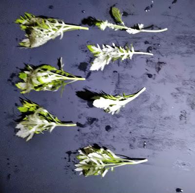 植えやすいサイズにカットされたウォーターウィステリア