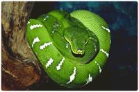 Cobras não-peçonhentas - constritora