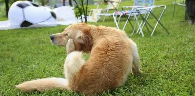 Bọ chét kí sinh trên chó