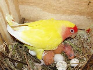 telur lovebird, lovebird netas