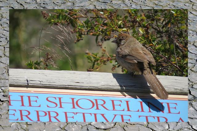Birding Palo Alto - little brown bird