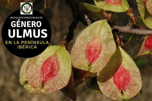 Lista del Género Ulmus, Olmos, familia Ulmáceae en la Península Ibérica