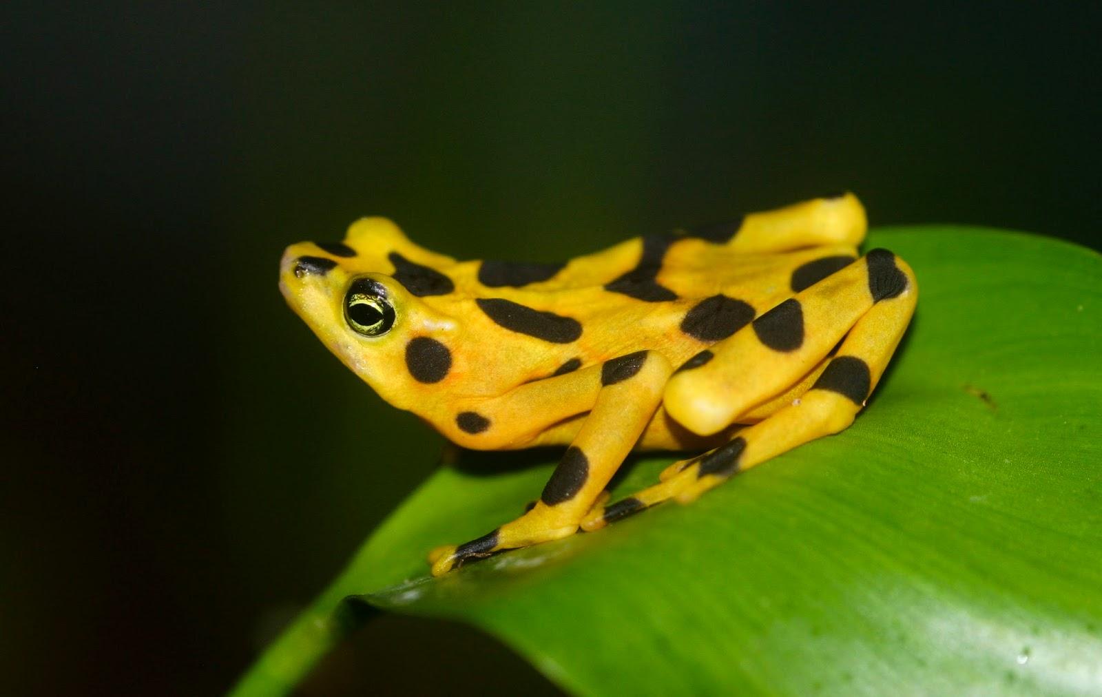 Amphibians: Atelopus zeteki