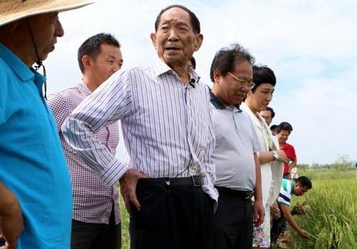 LaporanPenelitian.com Peneliti China Menciptakan Padi Tahan Air Laut