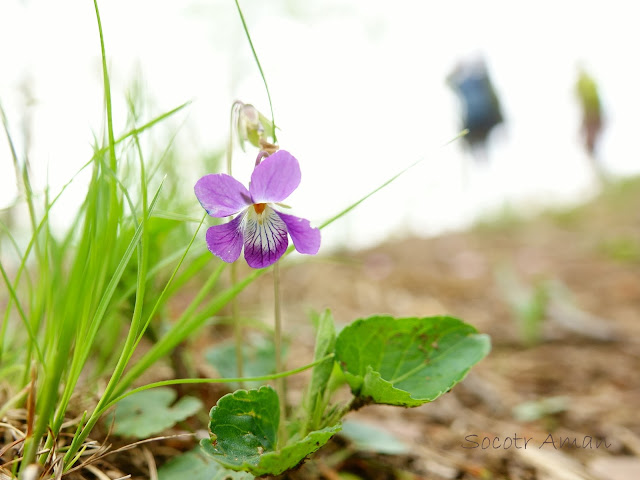 Viola obtusa
