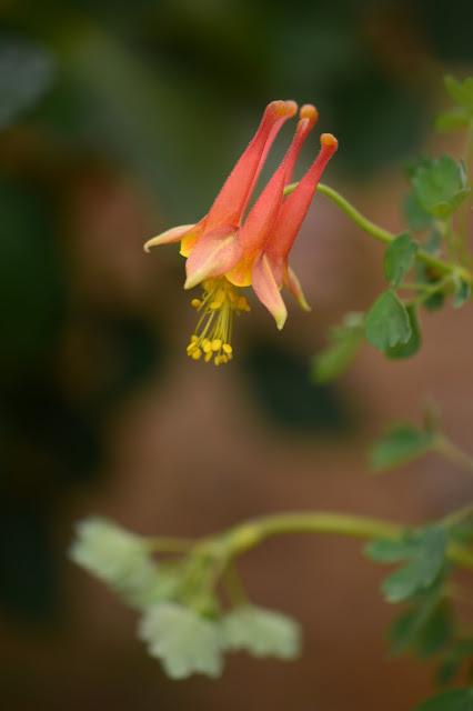 aquilegia desertorum, desert columbine, desert garden, amy myers