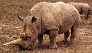 Foto del rinoceronte bañado con lodo seco