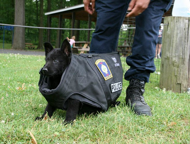 #7 This Is The New Puppy At Training Today. We Don't Think The Bullet Proof Vest Fits... Just Yet - 10 Puppies On Their First Days Of Work That Will Make Your Day