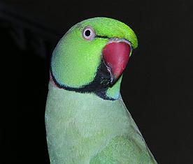 東京や神奈川でワカケホンセイインコが大量発生 1000羽を超える大群に