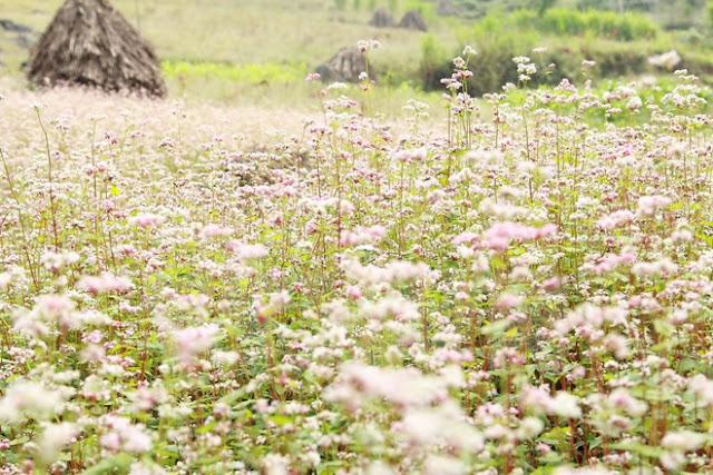 Travelling Ha Giang in September - the buckwheat flower season has already started.