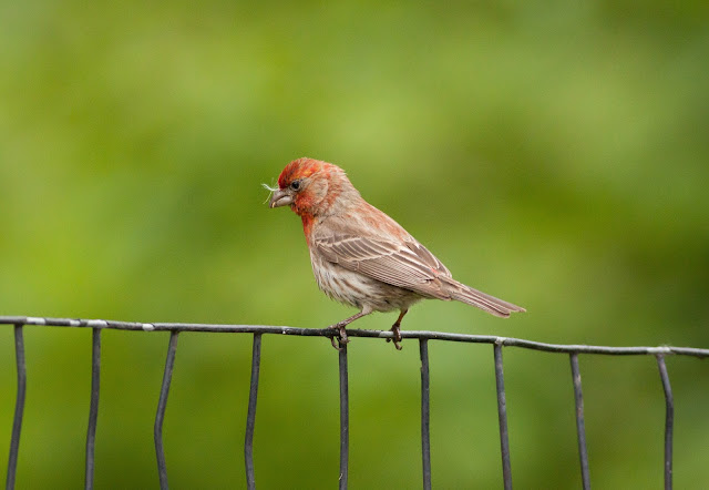 House Finch - Central Park, New York