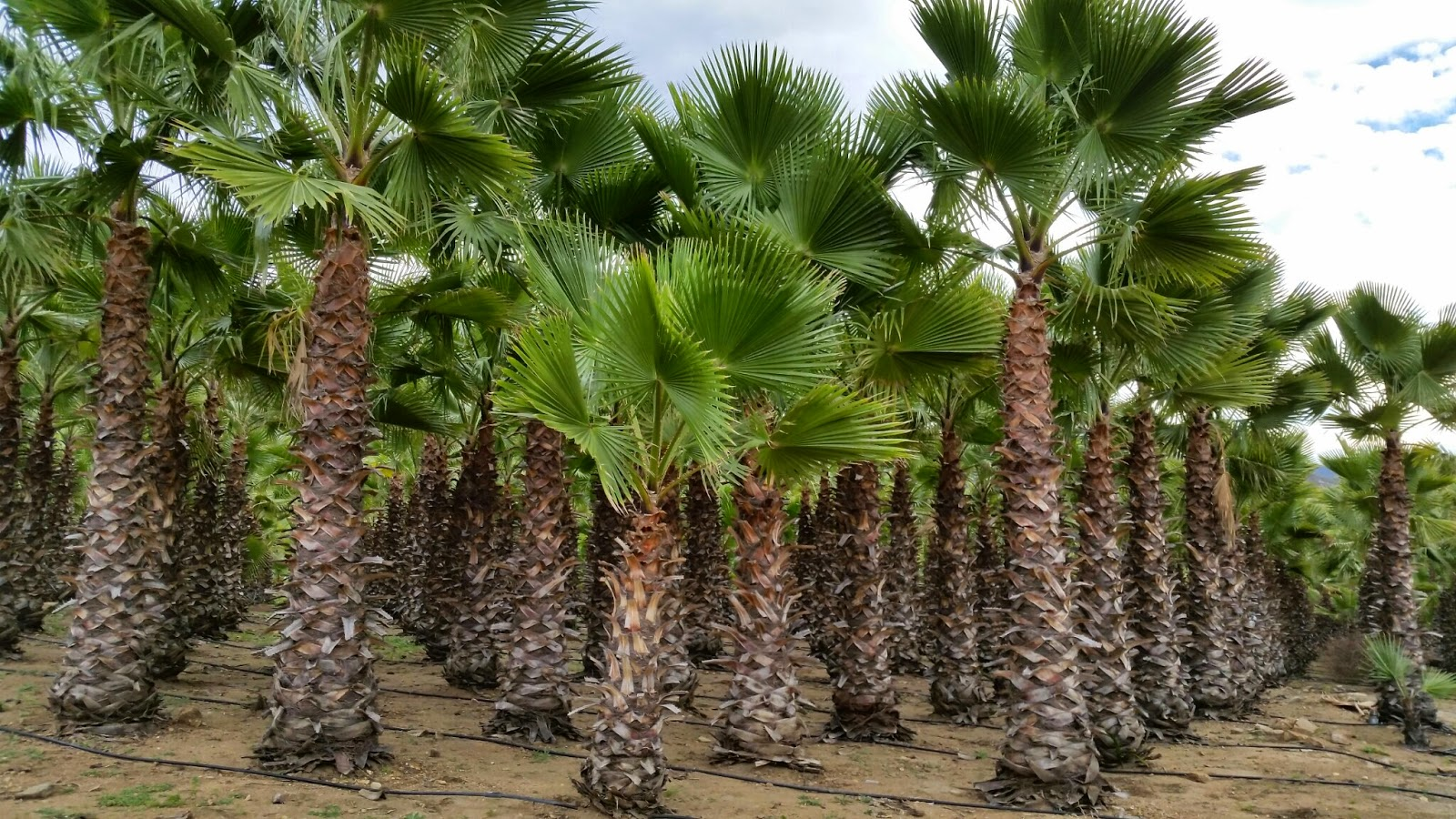 Mexican Fan Palms On Now