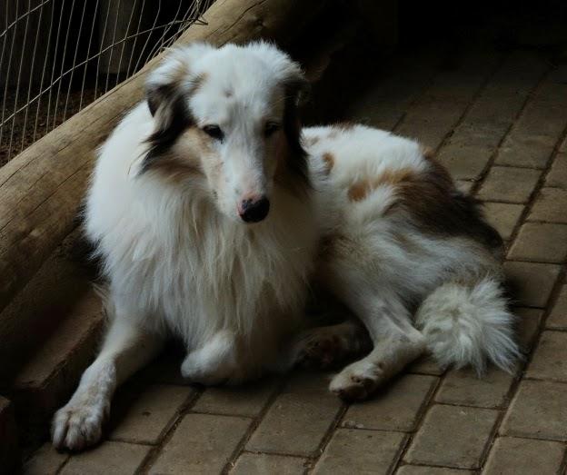 Cão Ovelheiro Gaúcho: Protegia os Rebanhos. Cão exposto no Parque do Gaúcho