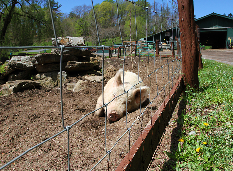 Veganreise New York Catskill Animal Sanctuary Emilia Pig