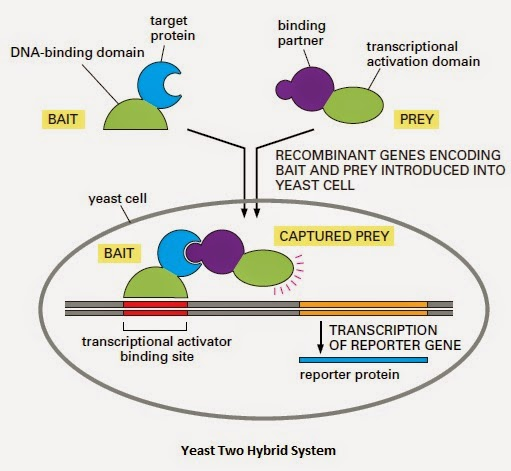 The Dna Sequence That Encodes Target Protein Is Fused With Binding Domain Of Gene Activator Using Recombinant