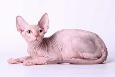 Kucing Sphinx - Sekitar Dunia Unik