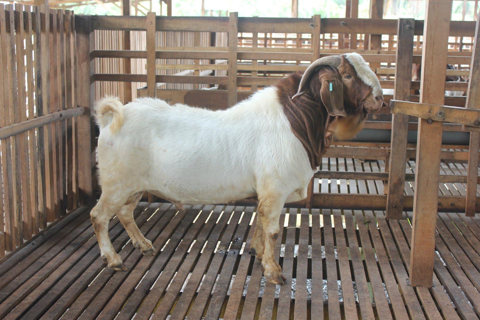 Jamnapari goat - JungleKey.in Image #100