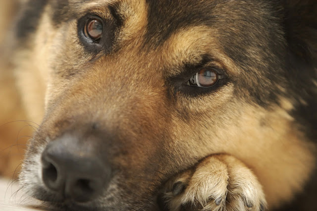 Homeless youth with pets are less depressed than those without. Photo shows close-up of adog's face