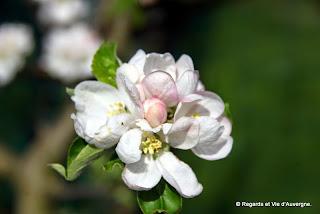 Fleurs de pommiers.